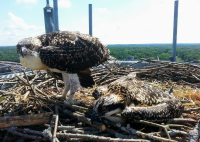 Osprey Chicks at Water plant (1)
